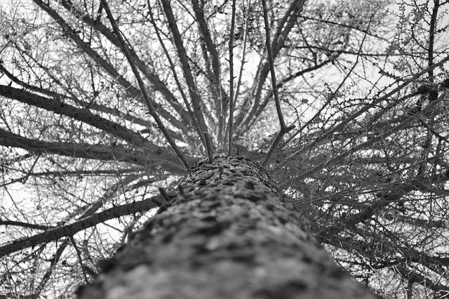 jehličnan – pohled do koruny